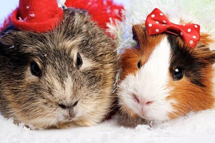 Meerschweinchen im Weihnachtskostüm | © panthermedia.net / tolokonov