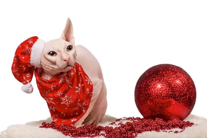 Nacktkatze mit Weihnachtsmütze | © panthermedia.net / ekaterina naumenko